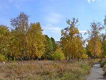 220px-Birch_grove_in_Barnaul