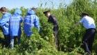 25 гектаров дикорастущей конопли истребят в Барнауле за это лето