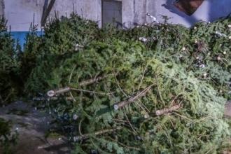 В Алтайском крае снизился спрос на новогодние елки